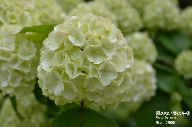 20110430_ashikaga-オオデマリ124.jpg