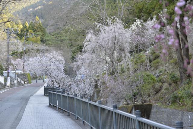 20130326_minobusan-kuonji066.jpg