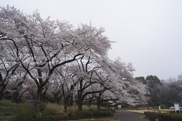 20130327_jindaiji102.jpg