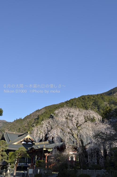 20130326_minobusan-kuonji090.jpg